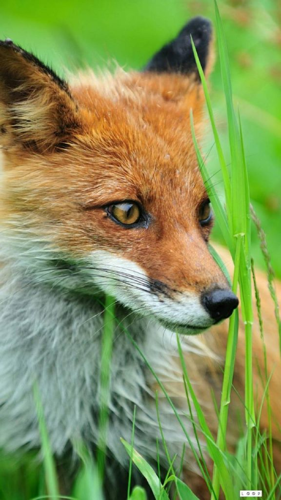 Abstract-Animal-Animals-Cool-Ringtone-Cool-Wallpaper-Forest-Fox-Foxes-Loop-Nature-fox