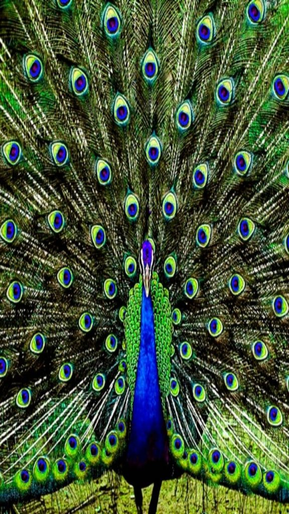 Wallpaper Background Abstract-Animals-Peacock